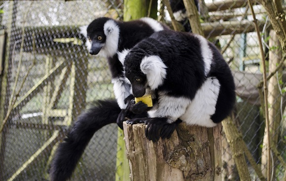 Lemur with banana