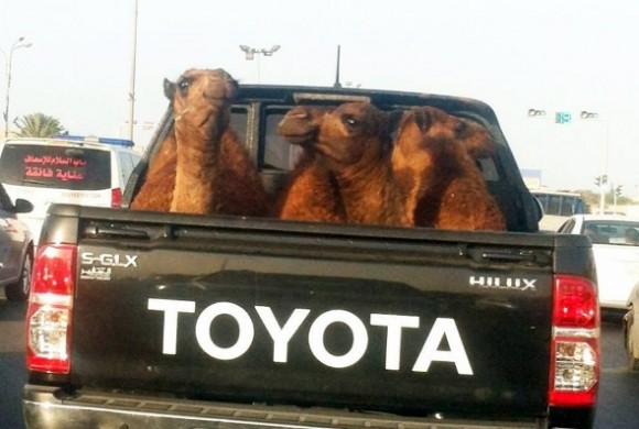 Toyota Hilux and camels