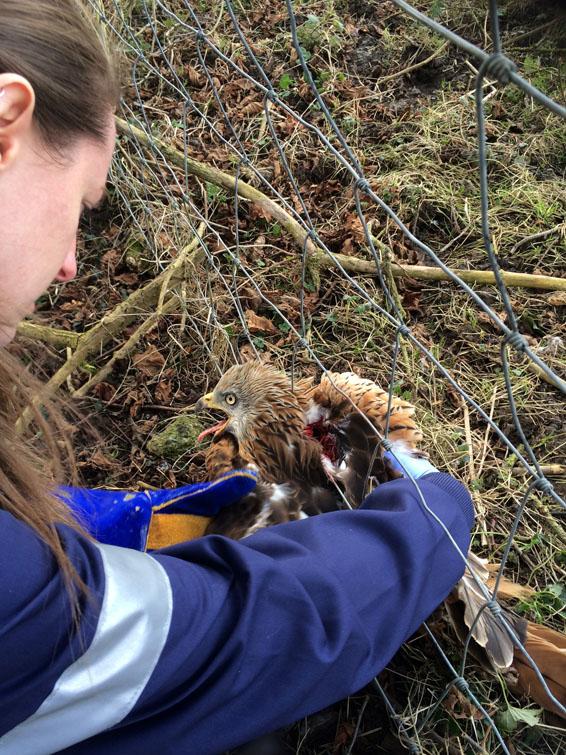 tiggywinkles animal rescue hilux (1)