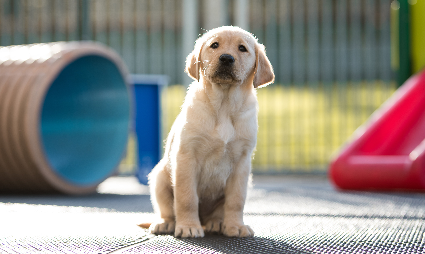 Guide Dog Rehoming >> Meet Banjo The Toyota Gb Guide Dog Puppy Toyota