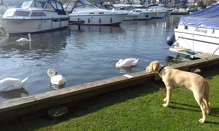 Banjo the Guide Dog puppy stares at some swans on a river.