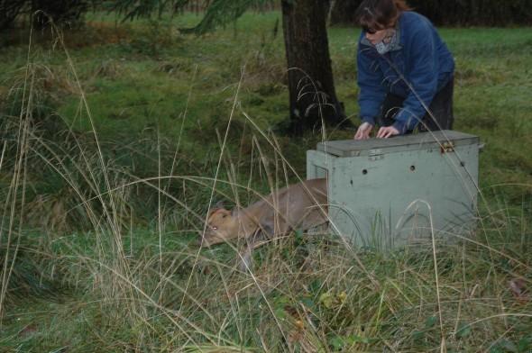 Tiggywinkles deer rescue (11)