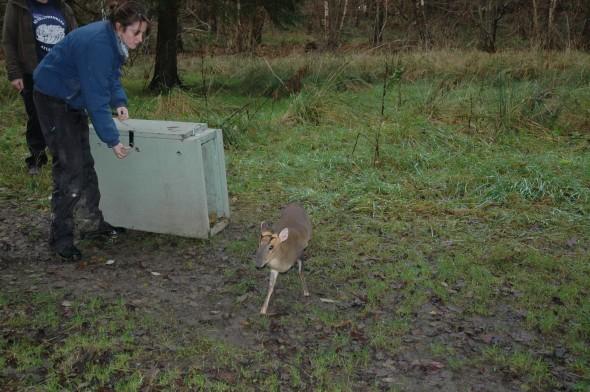 Tiggywinkles deer rescue (8)