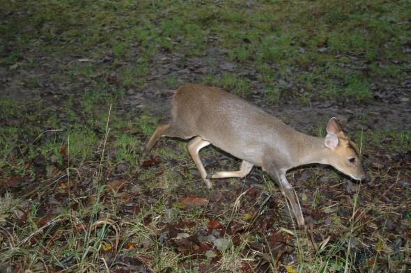 Tiggywinkles deer rescue (9)